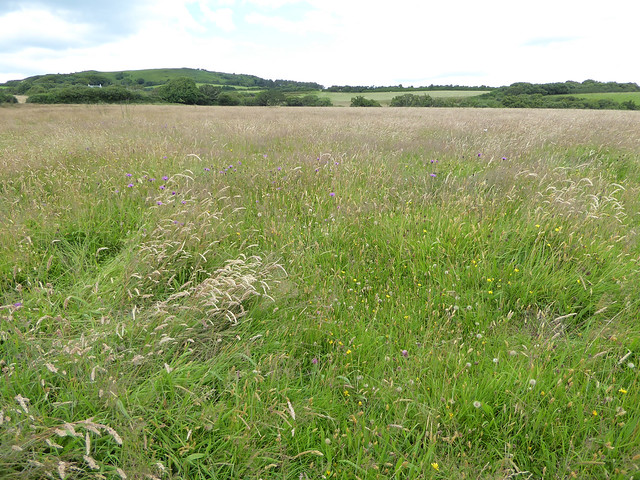 Hay meadow Golden Cap