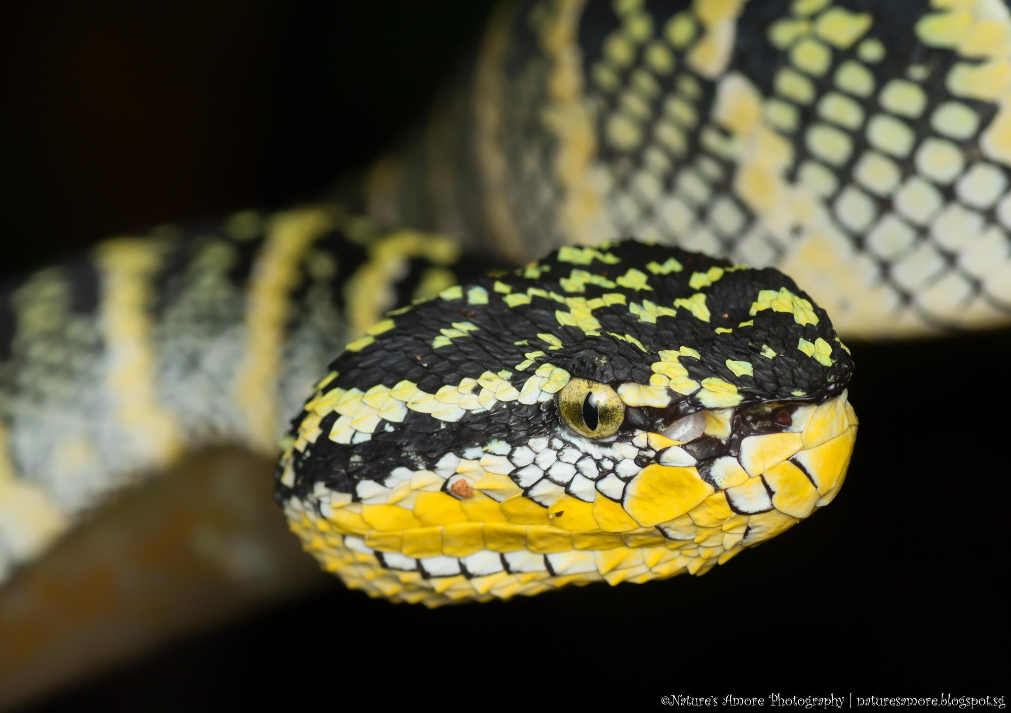 Wagler Pit Viper Female (Tropidolaemus wagleri )