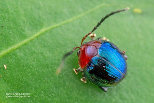Leaf beetle (Alticini) - DSC_0311