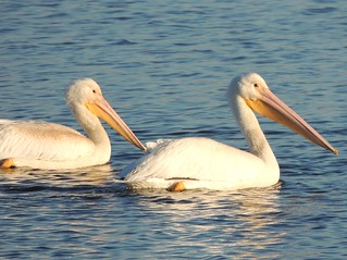 White Pelicans at the Upper Mississippi River National Wildlife and Fish Refuge | by Chicago Man