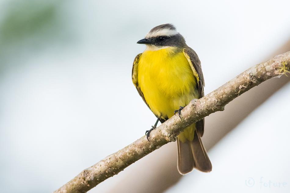 Myiozetetes, similis, Social, Flycatcher, Vermilion, crowned, Sarapiqui, valley, Costa Rica, kärbsenäpp, Kaido Rummel