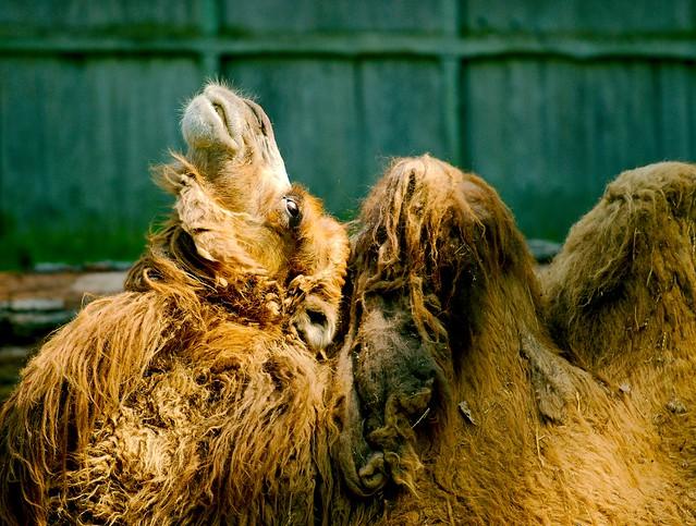 Bactrian Camel_2