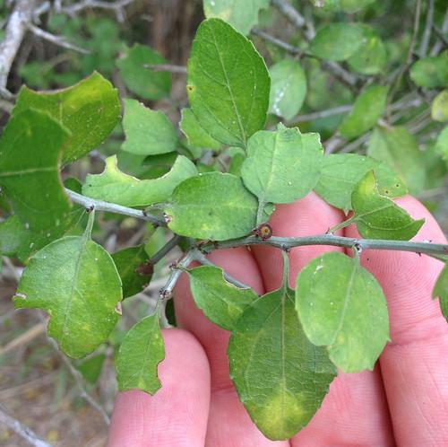 Desert Hackberry