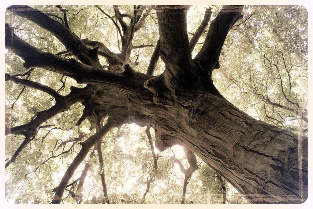 Magnifique orme dans le parc d'Hampstead Heath à Londres.