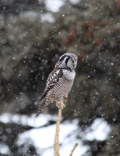 Northern Hawk Owl | by sarahlahaye