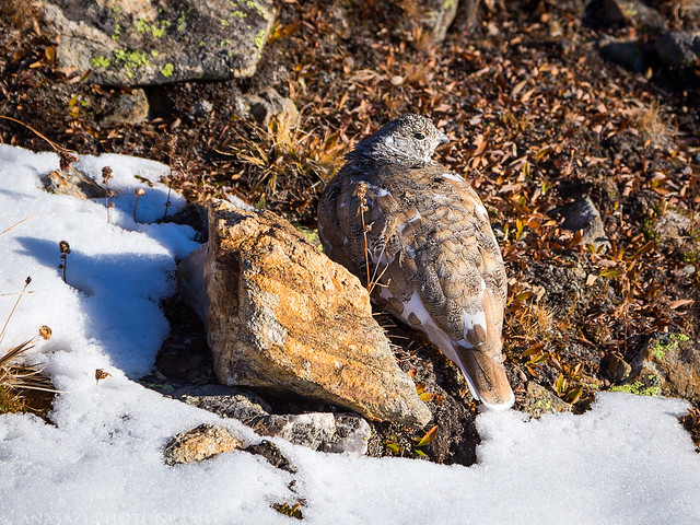 Rock or Ptarmigan?