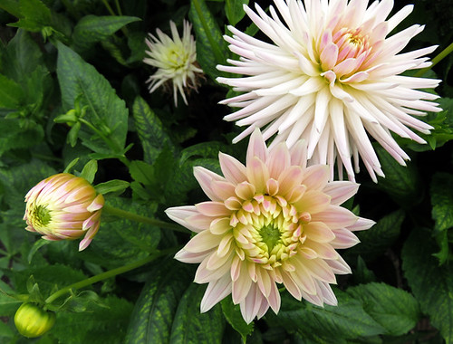 Delicate peach dahlias in the Dublin Botanical Garden in Ireland