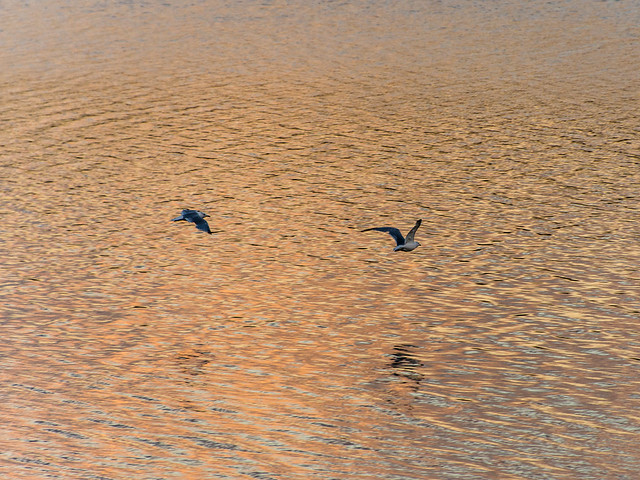 birds  over water at sunrise