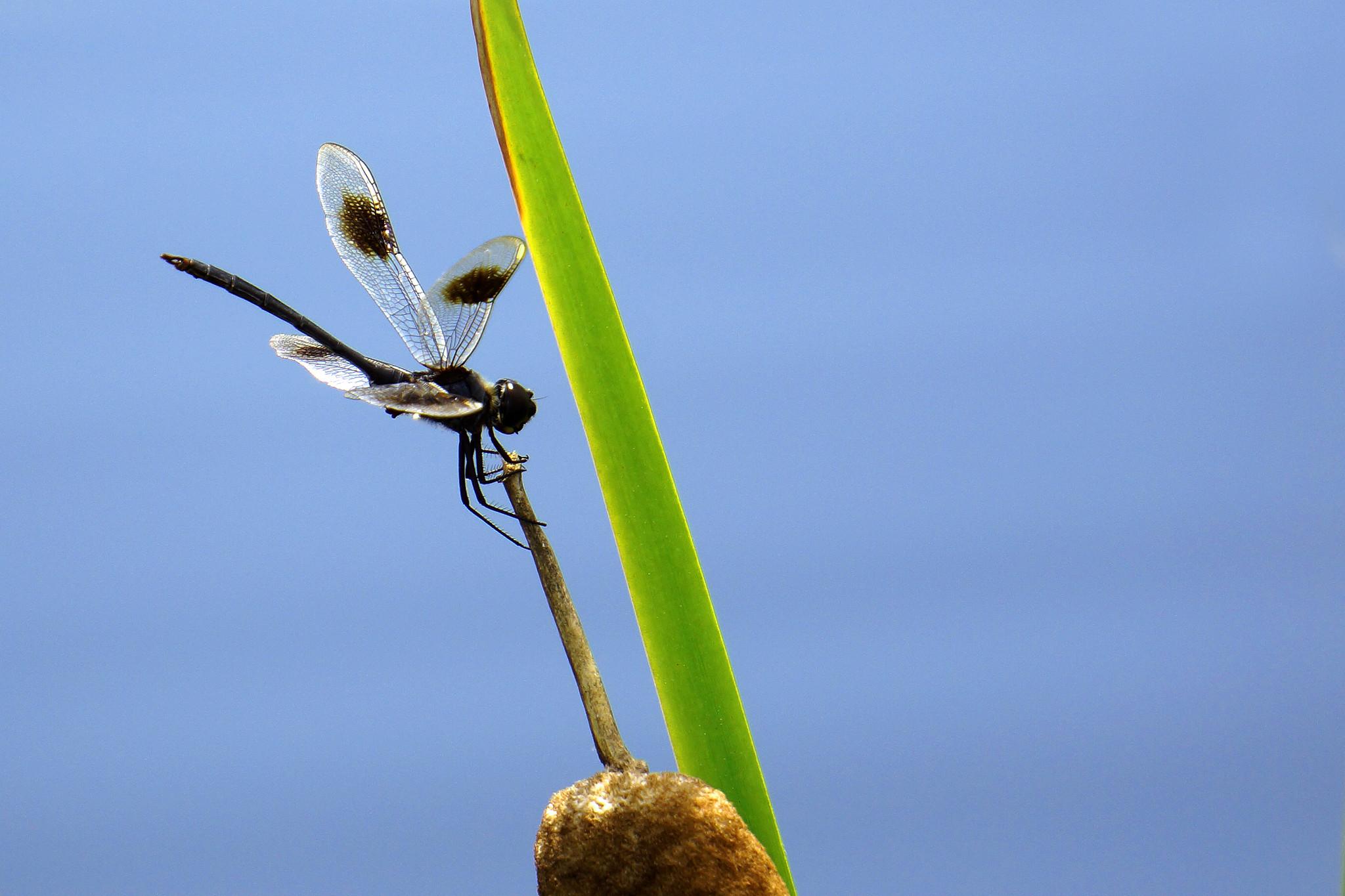 Limestone Dragonfly
