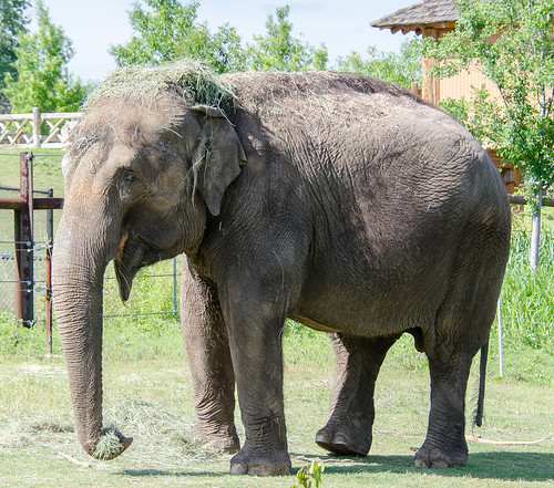 Image of the OKC Zoo elephant Bamboo