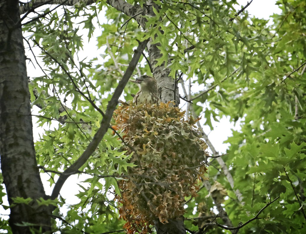 Hawk fledgling in squirrel nest