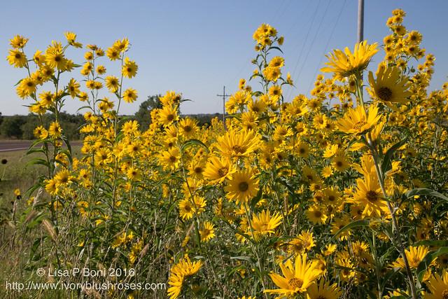 Flowers in Kansas