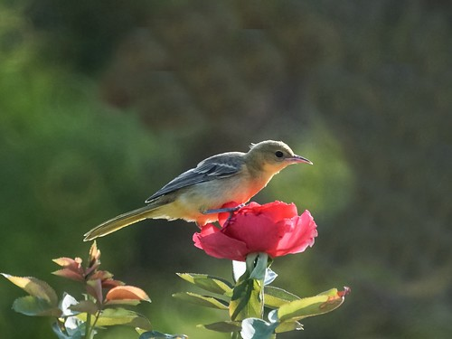Hooded Oriole on a Rose