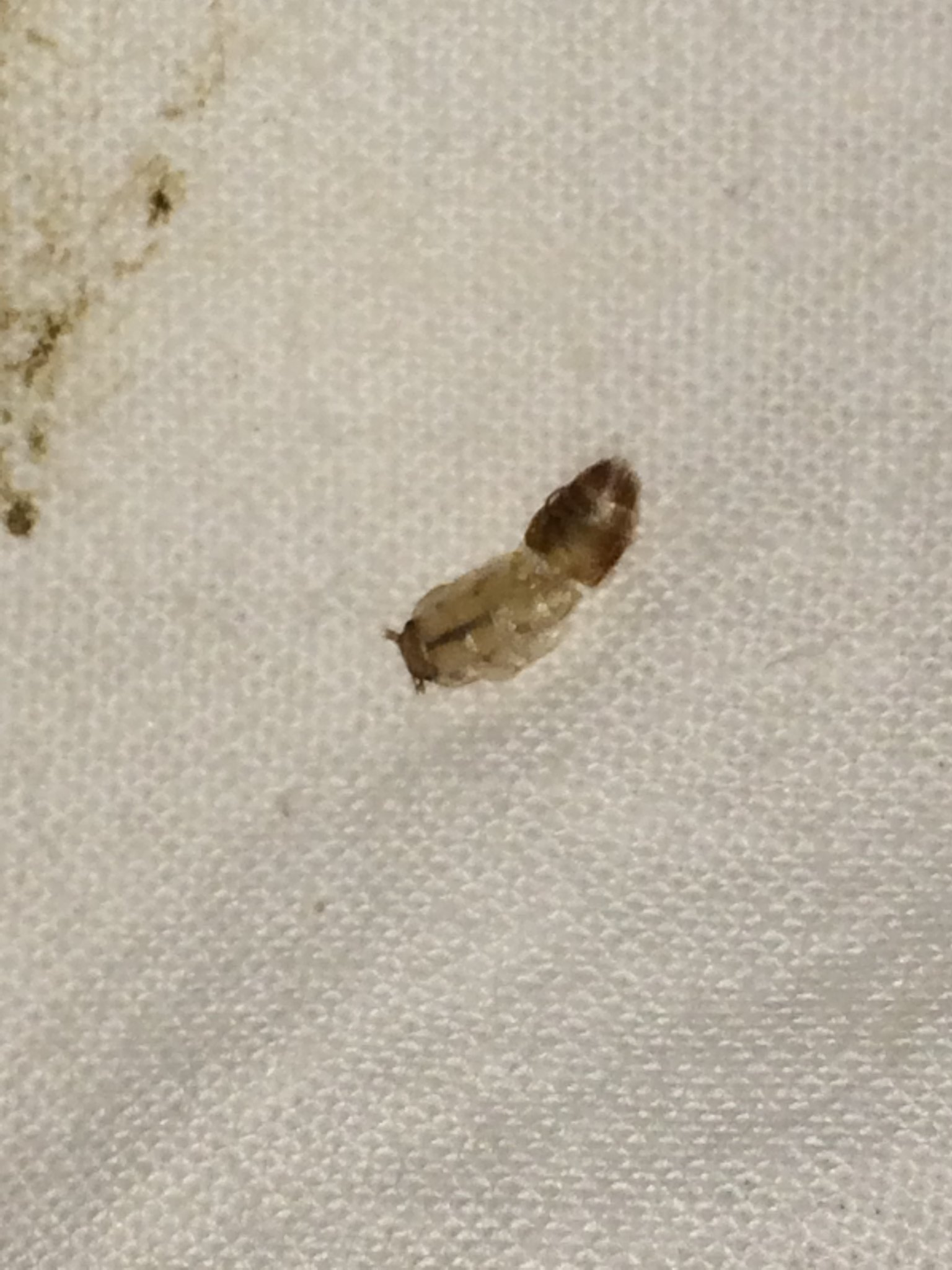 Gray Bug On Bed : Expert id needed a squished silverfish ? got bed bugs