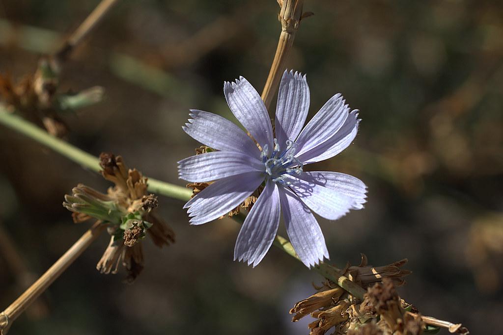 flor de cichorium intybus, la escarola, achicoria común o radicheta