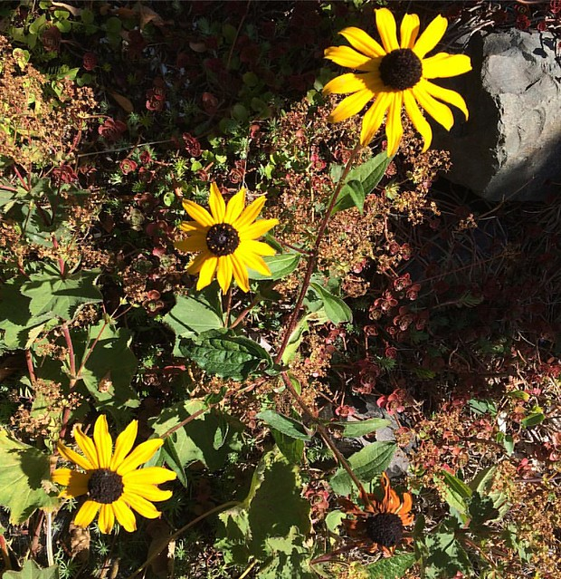 The Black-eyed Susans are still hanging on.