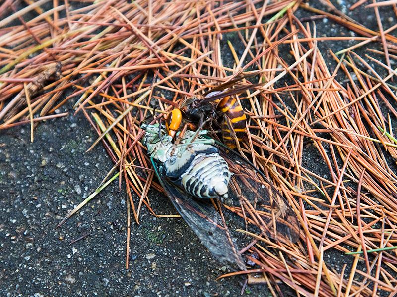 A wasp kills cicada
