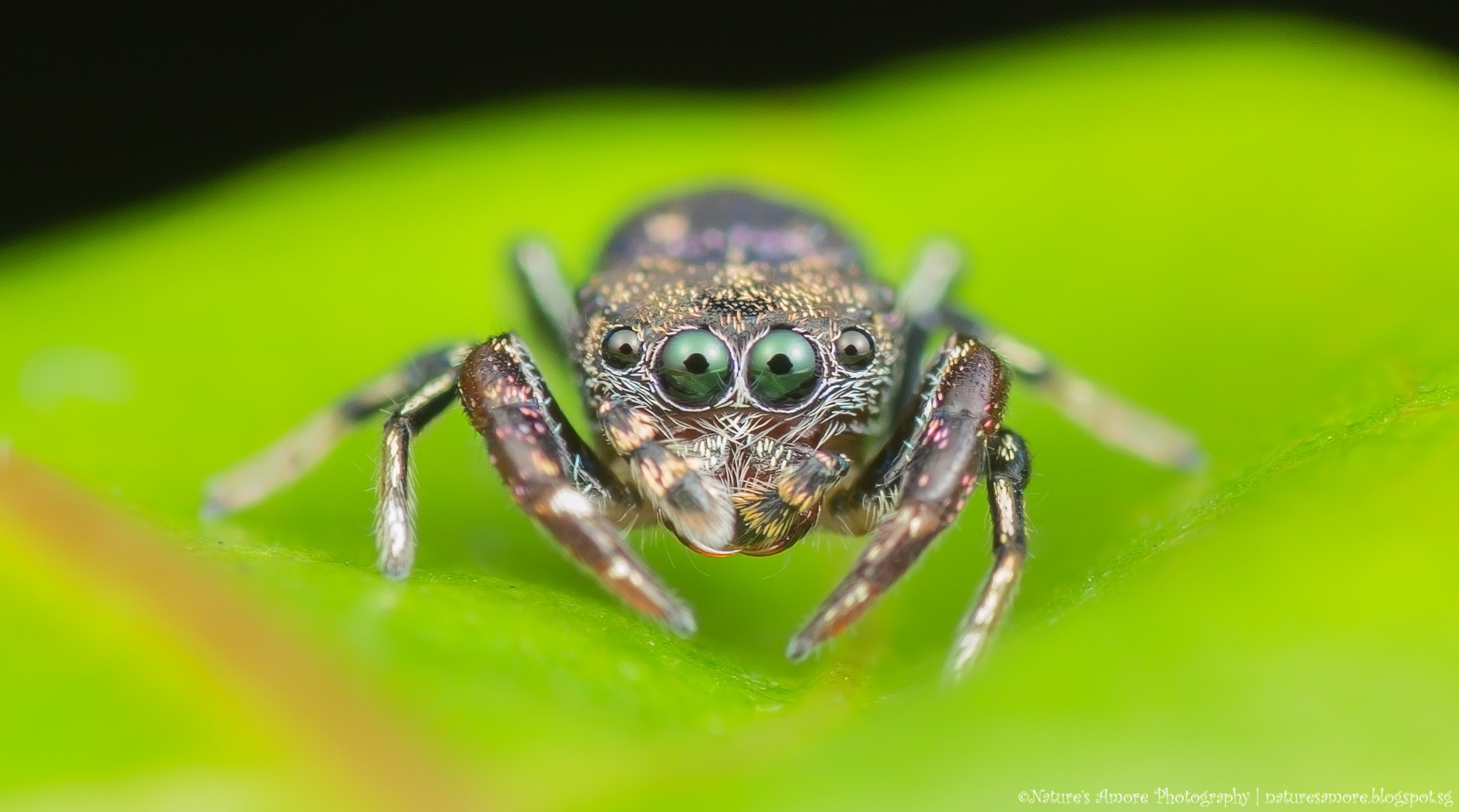 Jumping Spider - Simaetha sp.