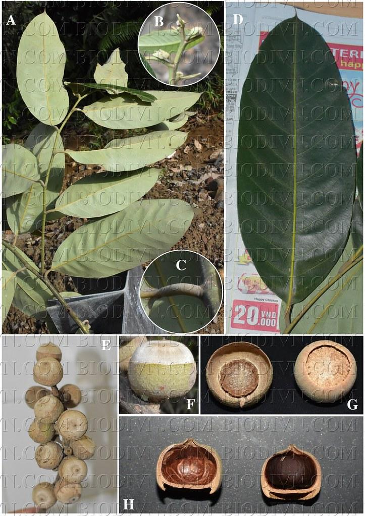 Lithocarpus dahuoaiensis1