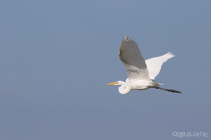 IMG_3593GreatEgret