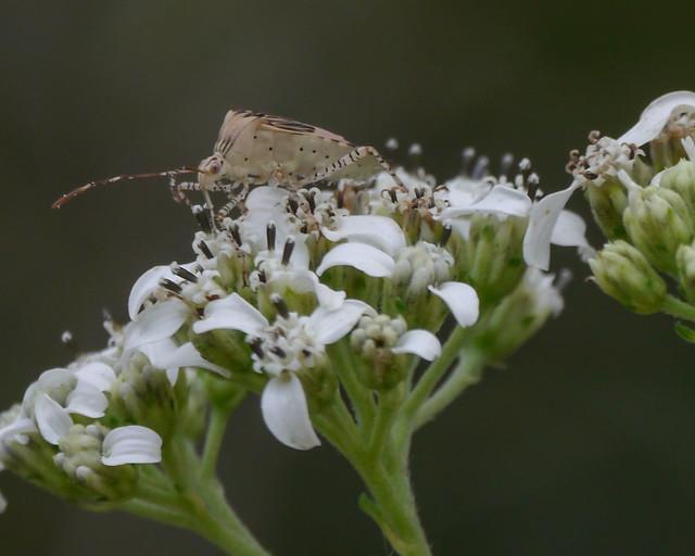 Bug on Frostweed