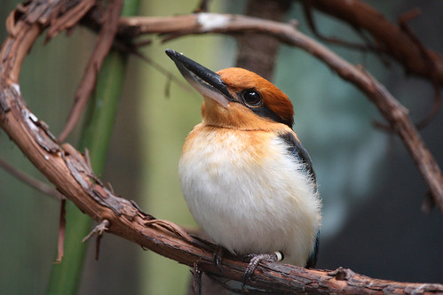 Female Guam Kingfisher