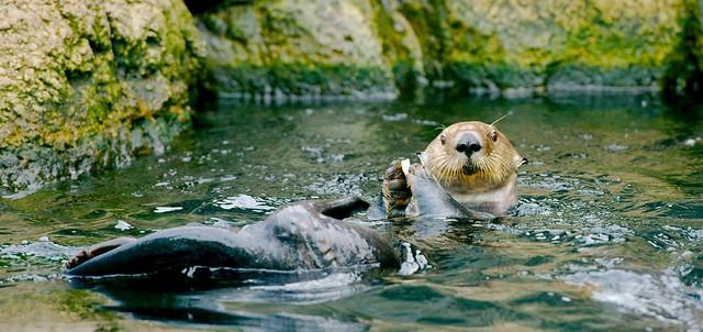 Sea Otter_8