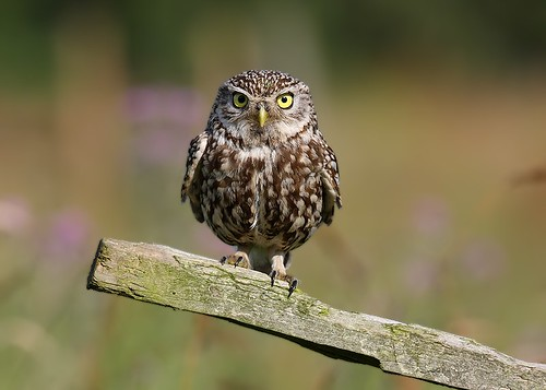 Little Owl | by Paul C Summers