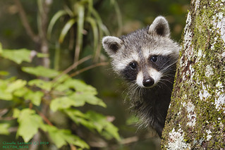 Raccoon_Babe_WEB_2075 | by beeton_bear