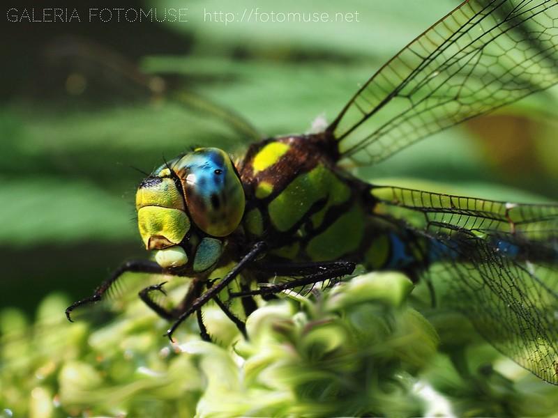 Dragonfly / Libelle / Ważka