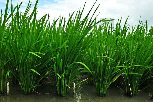 Rice with and without the PSTOL1 gene for phosphorous uptake - GN7_7969-1 | by IRRI Images