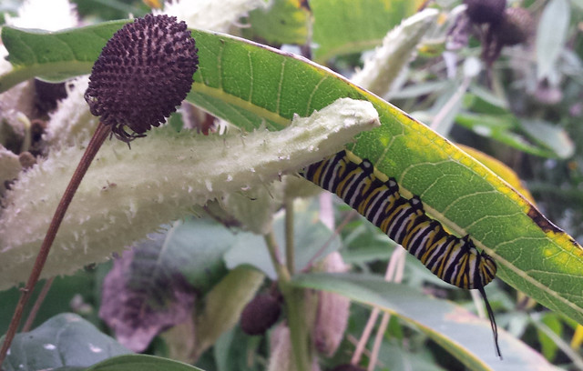 caterpillar on the underside of a deteriorating milkweed leaf, with coneflower and milkweed seedpods nearby