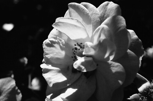 White rose | by Franco & Lia
