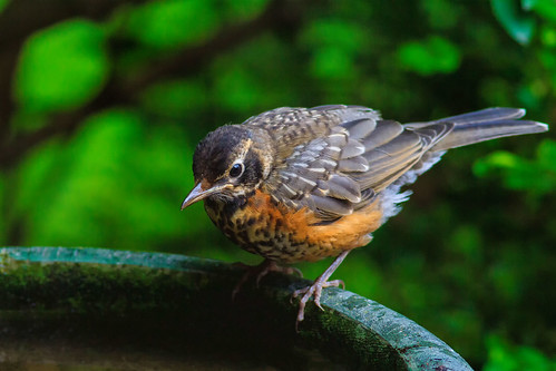 Juvenile American Robin. | by Robert Scott Photographyy