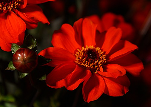 12-09-02 Canby Dahlia Festival 2012 28-70mm Macro Flash 0106SCr | by BrandyVSOP