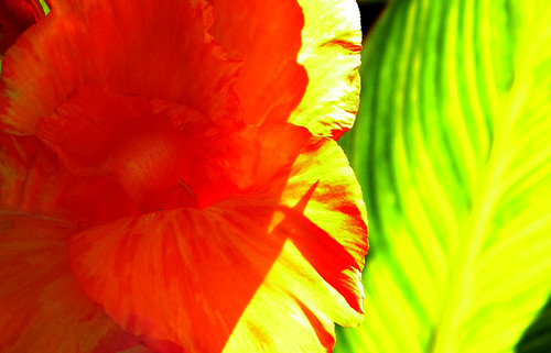 Striking leaves and flower of the Canna Lily