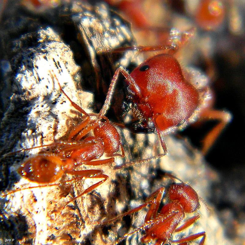 Florida Harvester Ant Workers (Pogonomyrmex badius)