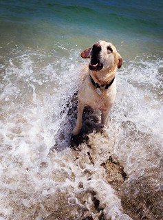 Tucker romping in the ocean | by Elizabeth Gospel