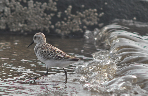 Semi-Palmated Sandpiper | by 9brandon