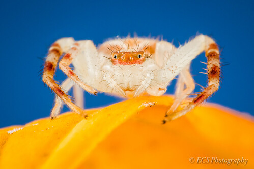 Crab Spider [Explore 9/14/12] | by ECS Photography