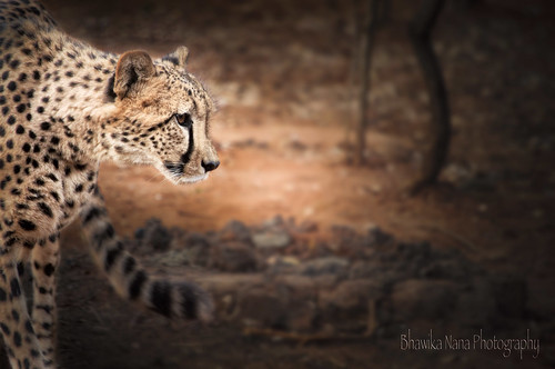 Cheetah | by bhawi