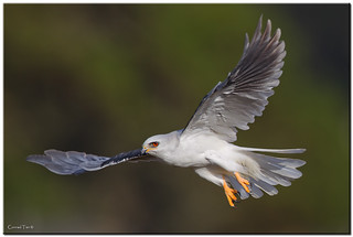 White Tail Kite | by Conrad Tan