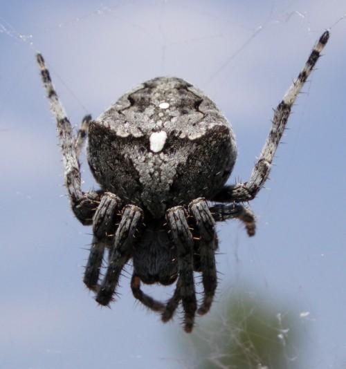 Araneus angulatus 29200225114_24b4511f08_o