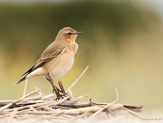 Northern Wheatear - New Jersey | by chrysoptera