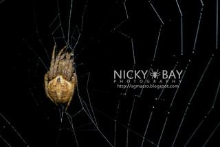 Orb Weaver Spider (Araneus sp.) - DSC_7369