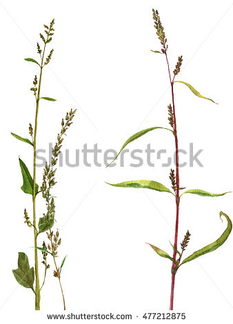 stock-photo-watercolor-drawing-wild-flowers-and-herbs-painted-wild-plants-botanical-illustration-in-vintage-477212875
