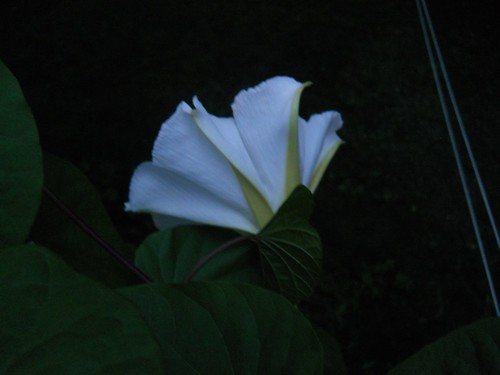 moonflower unfurling