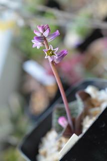 DSC_3311 Resnova megaphylla レスノバ メガフィラ