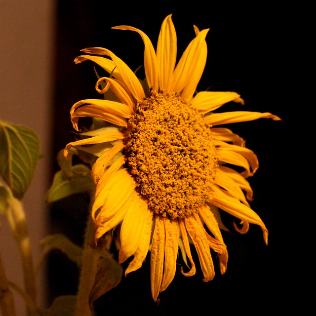 Sunflower series IV