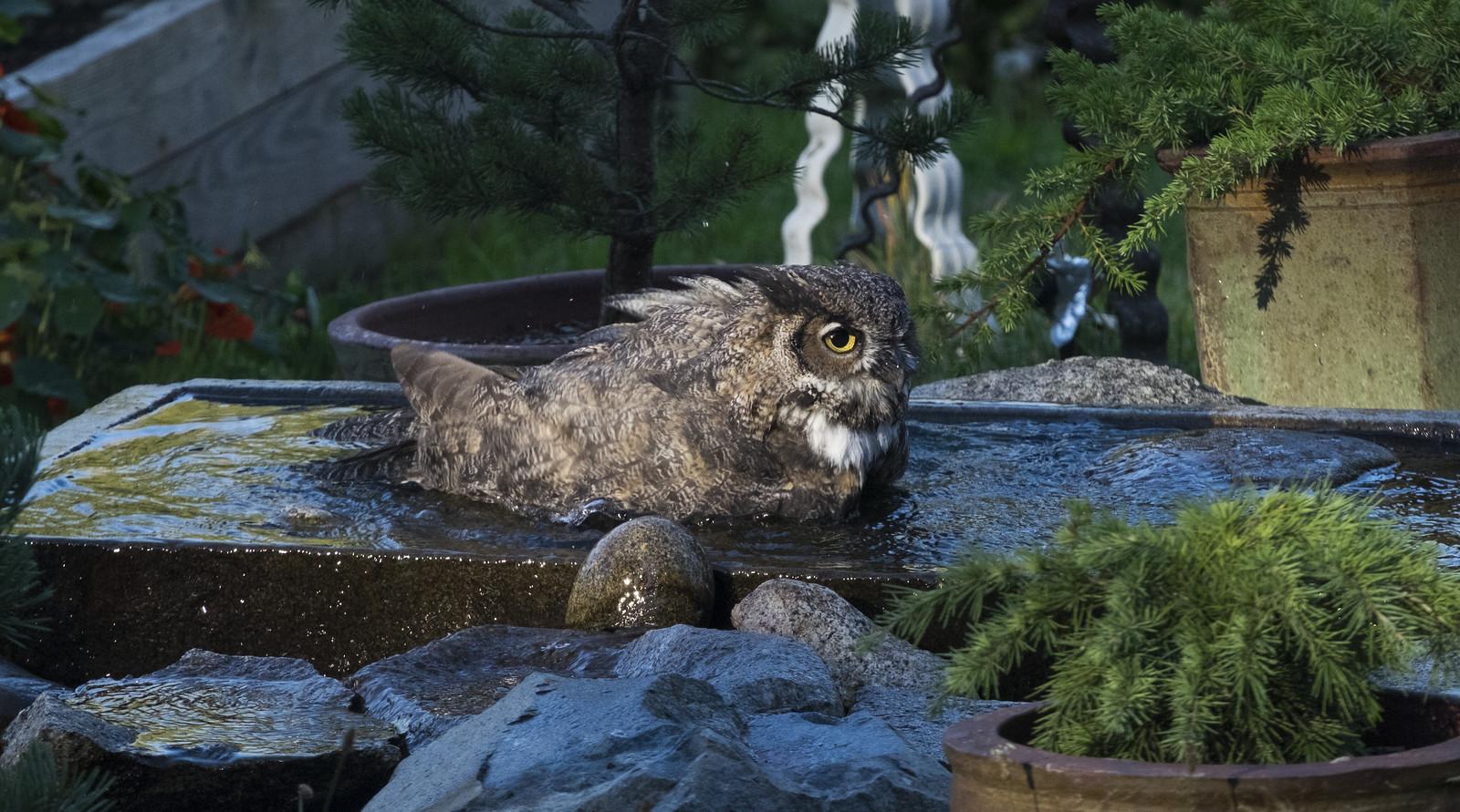 Owlbathing2bg | by Nicholas Lyle